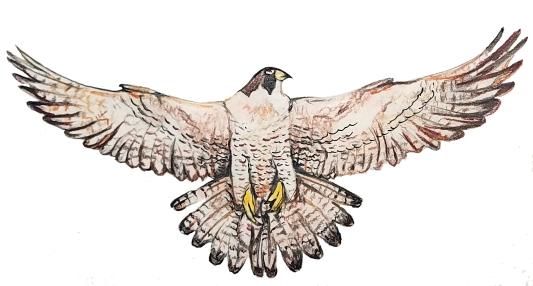 falcon belly
