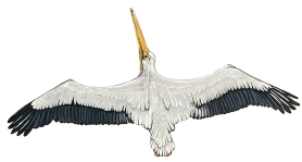 pelican back