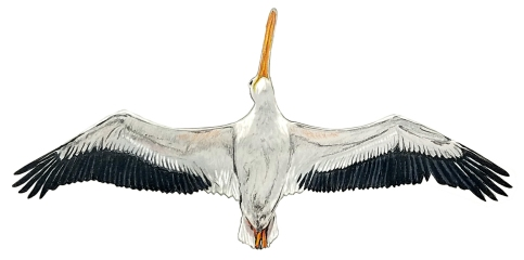 pelican belly