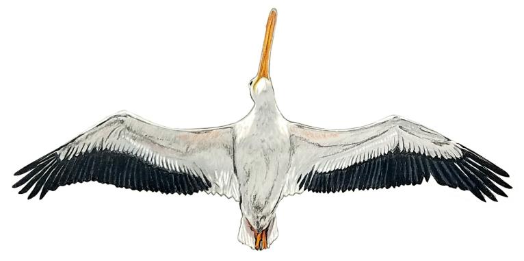 pelican belly